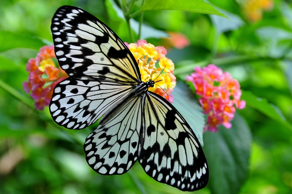 black and white butterfly rests with wings open on yellow and pink flower